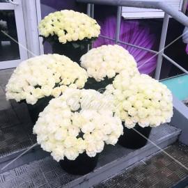 Арт. 0130. Роза 505 штук с атласной лентой