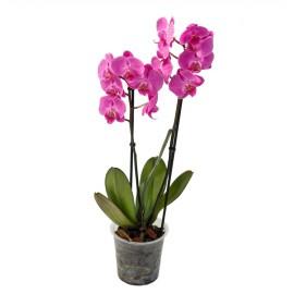 Орхидея Фаленопсис 2ствола